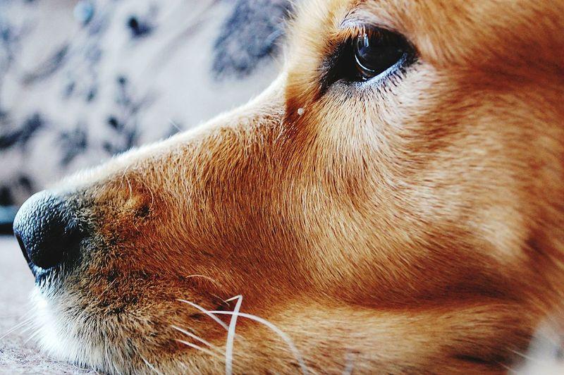 Close-Up Of Golden Retriever Resting At Home