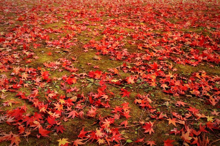 Autumn Red Nature Change Beauty In Nature Leaf Field Leaves And Colors Low Angle View Japanese Temple Autumn Beauty In Nature Autumn Leaves Nature Landscape Japan Temple Red Color Maple Leaf Red Green