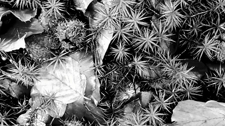 details of autumn Natural Structures Blackandwhite Atmospheric Mood Still Life Pattern, Texture, Shape And Form Botanical Structures In Nature Structures Shadows & Lights Monochrome EyeEm Best Shots EyeEm Nature Lover EyeEm Best Shots - Black + White Silence Forrest Nature Forrest Views Forrest Photography Detail Leaf Flower Head Backgrounds Close-up Plant Plant Life Botany
