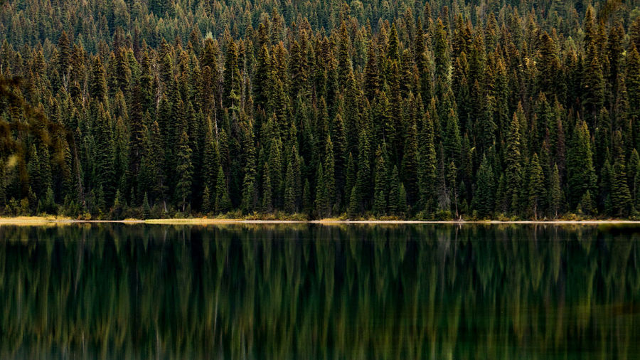 Pine Trees Reflecting In Lake