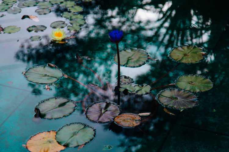 Lotus floating on pond
