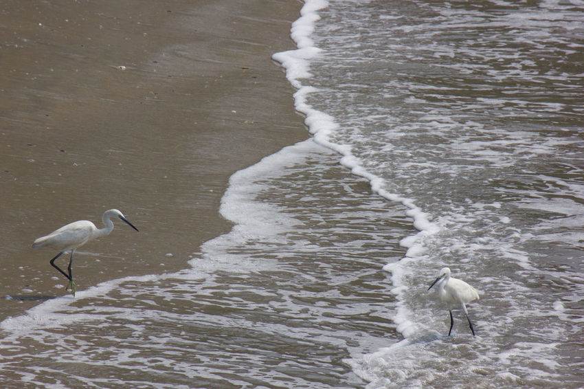 Animal Themes Animal Wildlife Animals In The Wild Beach Beach Life Beauty In Nature Bird Heron Herons Kerala Natural Beauty Nature Sand Sandy Scenics Tranquility Vella Kokku Water Water Reflections Waterfront Wave Wet Wild Wildlife Wildlife & Nature