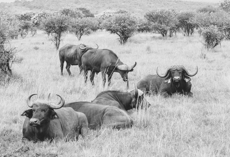 African buffaloes relaxing on grassy field