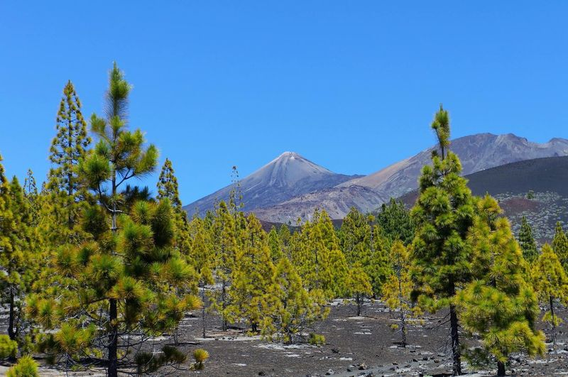 Blue Tree Clear Sky Nature Growth Sky Beauty In Nature Scenics No People Green Color Day Mountain Outdoors Low Angle View Landscape Volcano Tenerife