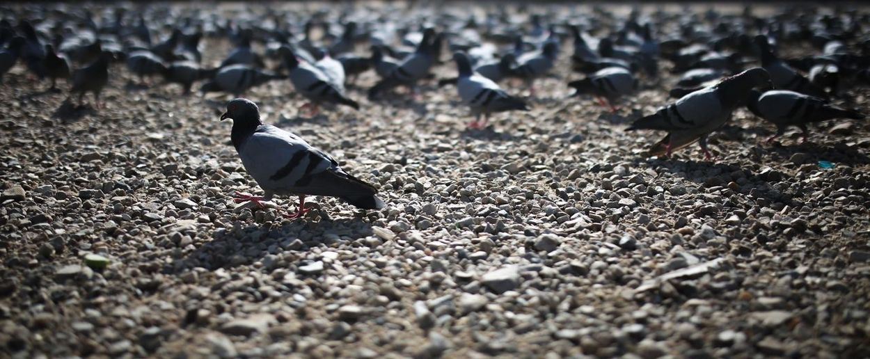 Pigeon parade Bird Animal Themes Animal Animal Wildlife Vertebrate Group Of Animals Animals In The Wild Pigeon Selective Focus No People Nature Large Group Of Animals Day Perching Outdoors Street Surface Level Field Sunlight Land