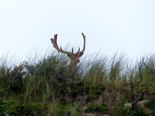 Grass Deer Nature Field Antler Stag Mammal Animal Themes Day Animals In The Wild Outdoors No People Beauty In Nature Sky