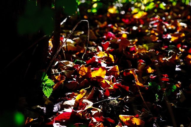 Autumnleaves🍁 Herbststimmung In My Garden Autumn Close-up Leaves Nature Selective Focus Sunlight