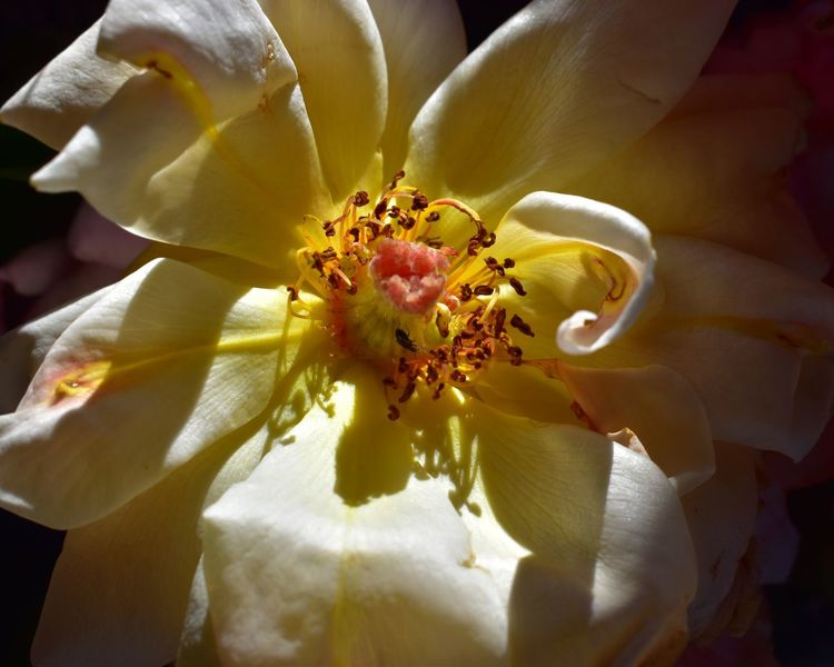 Never hide Florecitas_mx Rosas Nikond5600 Flower Flowering Plant Beauty In Nature Vulnerability  Plant Fragility Petal Flower Head Nature No People Botany Stamen White Color Yellow Inflorescence Pollen Outdoors Freshness Growth Close-up