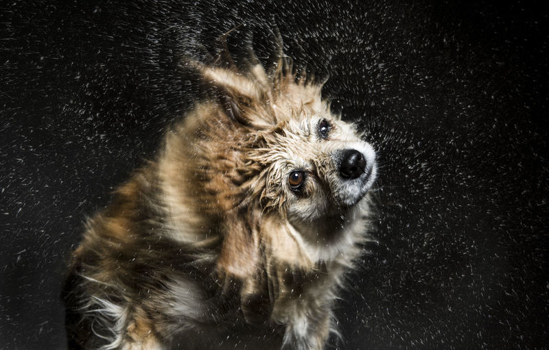 Close-Up Of Wet Dog Shaking Off Water
