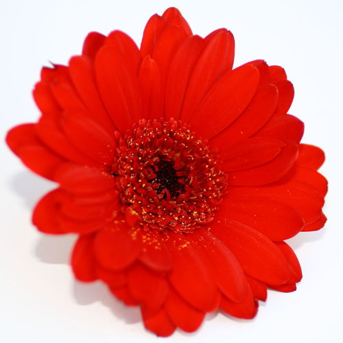 Gerbera Beauty In Nature Blooming Blossom Botany Close-up Composition Elégance Flower Flower Head Fragility Freshness Gerbera Gerbera Daisy Gerberas Growth Nature No People Petal Pollen Red Flower Red Flowers Red Gerbera Single Flower Softness Springtime