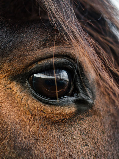 Close-up of Holsteiner, Horse Eye Looking To The Right Animal Themes Brown Close-up Day Domestic Animals Eyeball Eyelash Holsteiner Horse Horse Eye One Animal Outdoors Pets