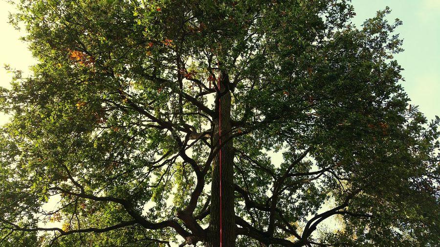 Élagage Arbre Arbres Chene Corde Cordes Climbing Trees Climbing
