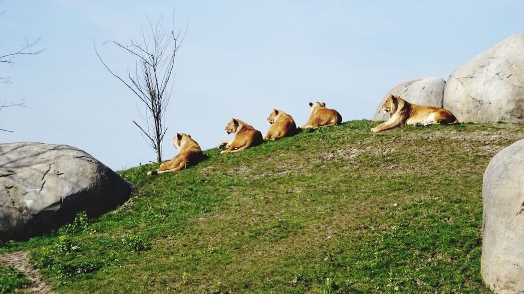 Enjoying The Sun Enjoying The View Lions Lion Family Lion Mountain 5 In A Row Animals Wildlife Wild Animals Wild Animal Wildlands