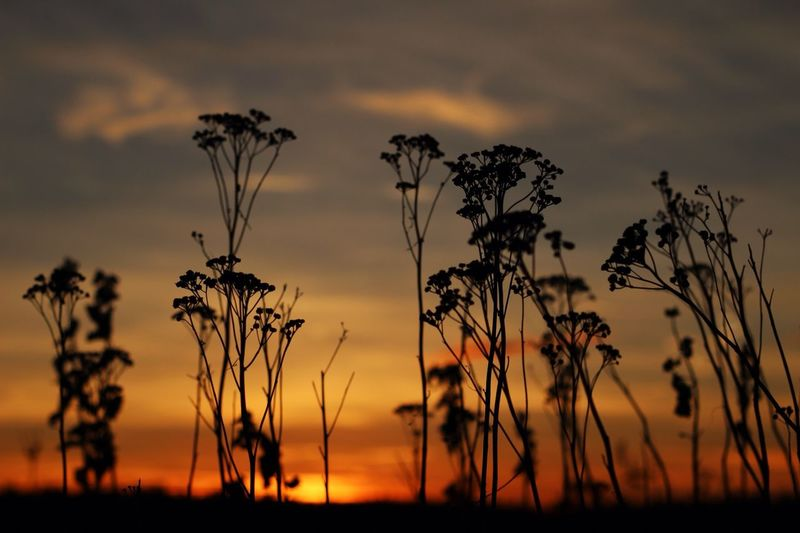 Silhouette plants at sunset
