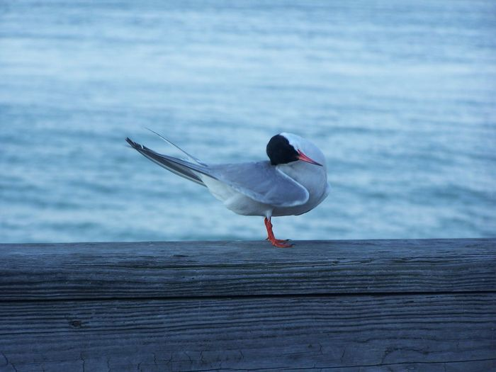 Close-Up Of Black-Headed Gull On Wooden Railing By Sea