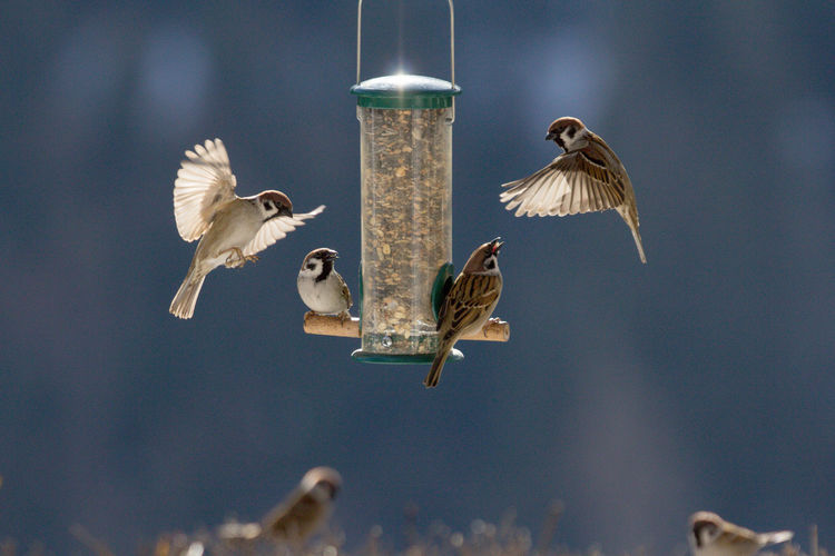 Birds sitting at and flying toward a bird feeding place Back Light Sitting Animal Themes Animal Wildlife Animals In The Wild Bird Bird Feeder Birdseed Blue Background Close-up Day Flying Focus On Foreground Hanging Mid-air Motion Nature No People Outdoors Sparrows Sparrows Feeding Spread Wings