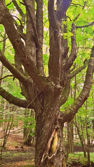 Aesculus Hippocastanum Beauty In Nature Forest Green Green Color Idyllic Male Karpaty Pagastan Konsky Tranquility Tree WoodLand