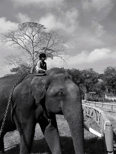 Elephant on tree against sky