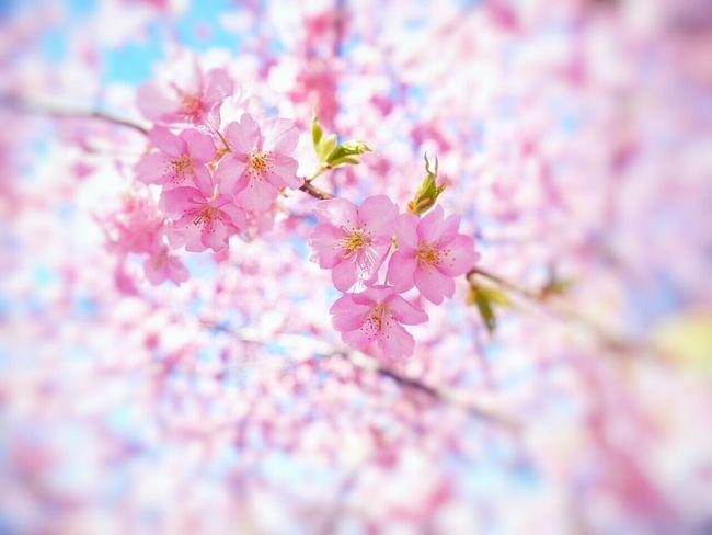 桜ボケ Spring Flowers Spring Flowers Japan Sakura Natural Photo Boke