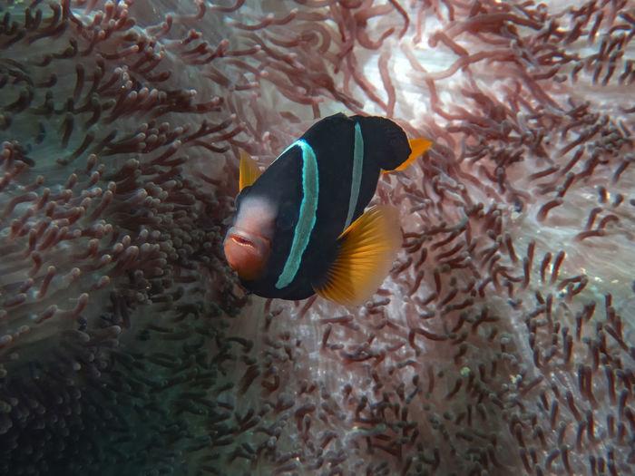 A clark's anemonefish in the indian ocean