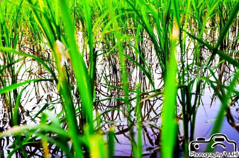 #Faith is like a #kernel of #wheat. #Joe #Bob #Briggs #New #logo #Facebook #page:Photography MAHI👌❤️😍😊😍😘 Photgraphy MAHI Wheat Green Color Growth Grass Plant Nature Day No People Beauty In Nature Freshness Close-up Outdoors