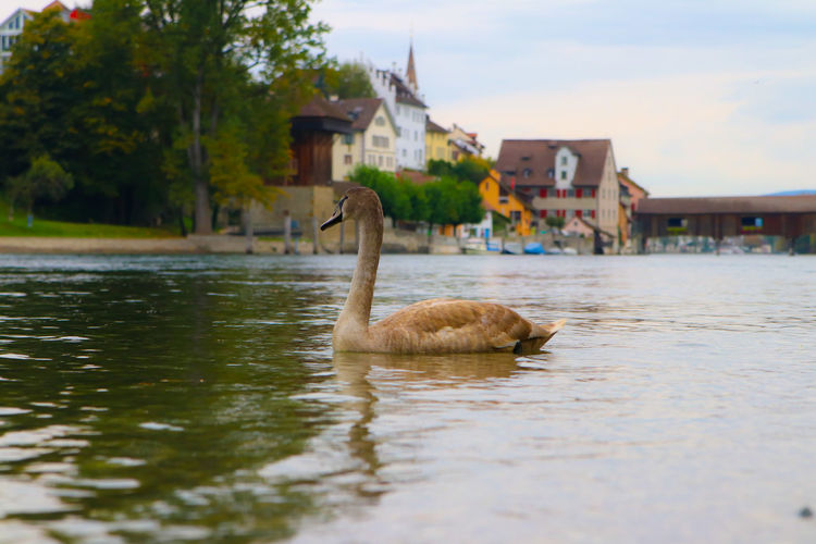 Young swan on Rhein river Diessenhofen Animal Themes Animals In The Wild Architecture Bird Border Borderline Building Exterior Built Structure Day Mammal Nature No People One Animal Outdoors Scenery Sky Swan Swimming Switzerland Water Waterfront 3XSPUnity