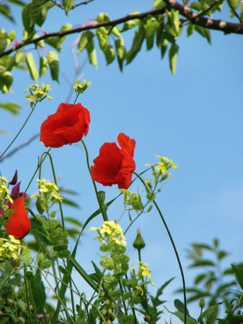 Poppies  Red Poppies Poppy Love Poppy Flowers Wild Flowers Flower Collection Nature_collection Blue Sky Copy Space Offset Andalucia Rural