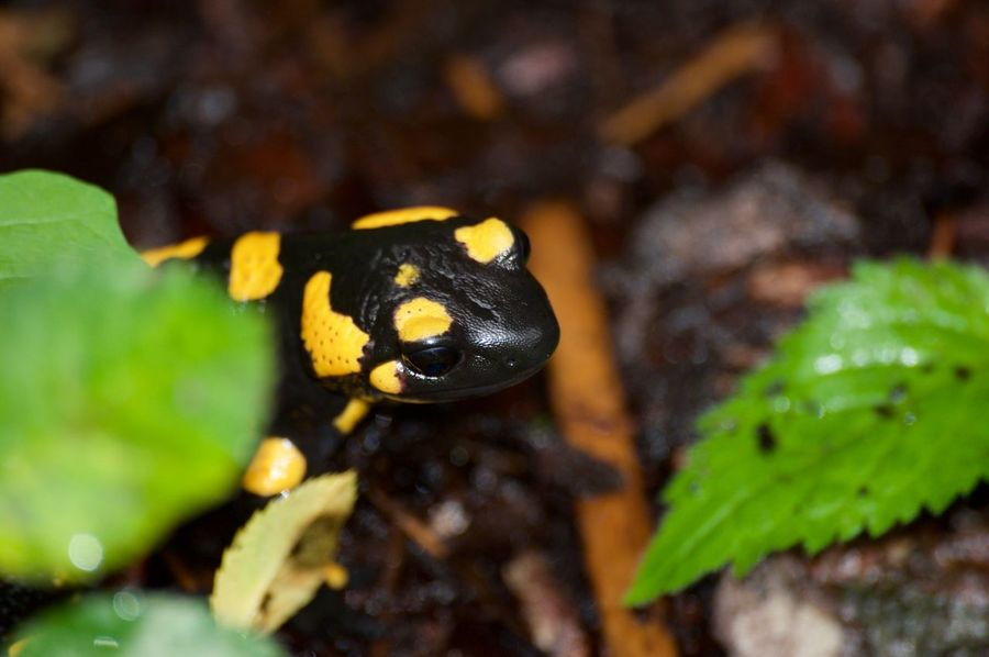 garden Autumn Feuersalamander Leafs Nature Rain Rainy Days Animal Themes Animal Wildlife Animals In The Wild Black Close-up Day Floor Garden Green Color Insect Leaf Lurch Nature No People One Animal Outdoors Yellow