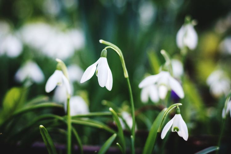 That time of year again, Snowdrops starting to emerge! Taken on my Nikon with my trusty Manual setting of F4, 1/1000 shutter! Never fails to disappoint! Growth Snowdrop Nature Flower Beauty In Nature Fragility White Color Blooming Close-up Faversham Growth Photooftheday Tranquility EyeEm Nature Lover Details Scenic Creative Photography Check This Out Beauty In Nature Taking Photos Kent Nikon Enjoying Life Selective Focus Travel Photography