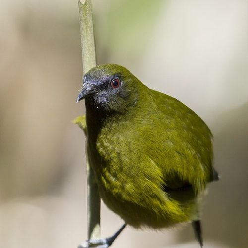 Korimako aka NZ Bellbird. 90% of my bellbird photos that are in focus are of their bums. I don't have a fetish or anything (maybe they do?) Just bad luck when it comes to these guys. Taken at Tawharanui (north of Auckland), I recommend it, great for seeing these guys, one or two Kaka, plenty of Tui's. If you time your visit right you can watch the enormous Kereru get drunk on fermenting berries and make asses of themselves. Good times! Nature Newzealand Aoteoroa Birds birding picoftheday photooftheday photography wildlife wildbird igdaily Travel beautiful bird_lovers_daily natureporn natureseekers instabird birdstagram birdsofinstagram feather