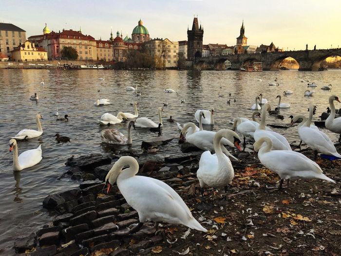 Swans on river against sky