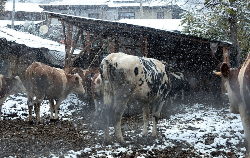 Close-up of cows in snow