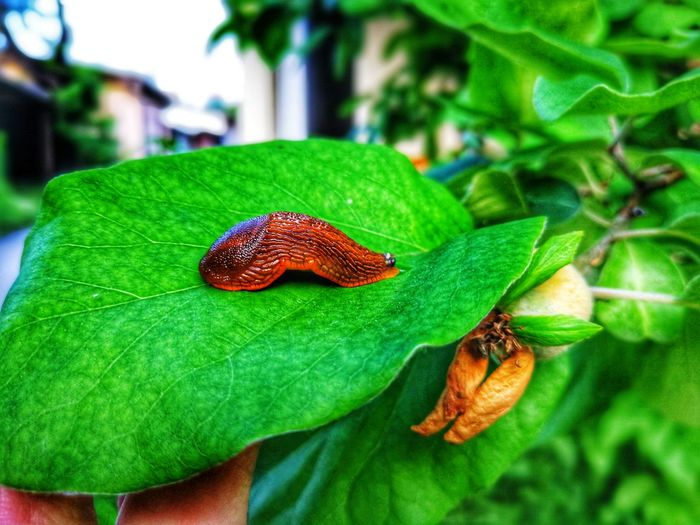 I'm here for a good time not a long time.. Terrestrialanimal Organism Slug EyeEm Selects Bosnia And Herzegovina Sarajevo EyeEm Best Shots - Nature EyeEm Nature Lover City Life Leaf Red Insect Close-up Green Color Bug