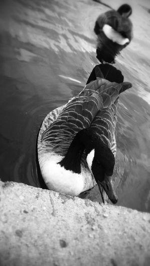 Lake Goose Black & White