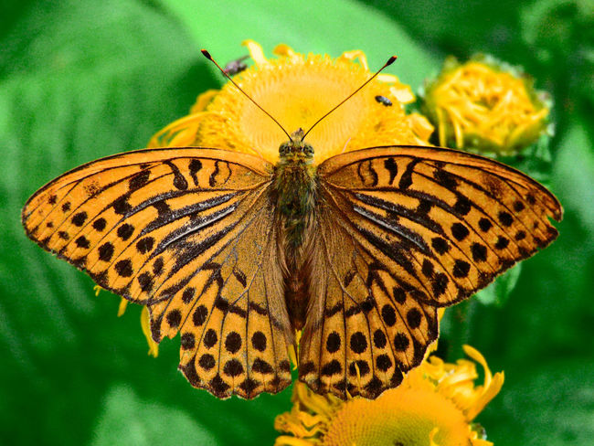 Argynnis Paphia Butterfly Close-up Insect Kejserkåbe Nature Orange Color Wildlife