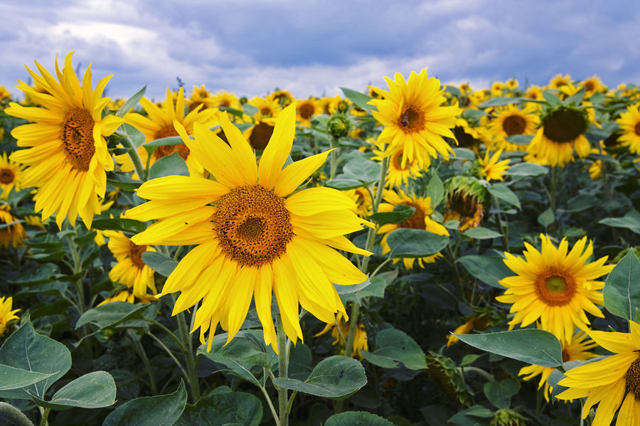 Sunflowers Beauty In Nature Close-up Field Flower Flower Head Flowerbed Flowering Plant Fragility Freshness Growth Inflorescence Land Nature No People Outdoors Petal Plant Plant Part Pollen Sky Springtime Sunflower Vulnerability  Yellow