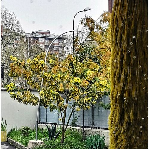 Mein Automoment yellow flirt between mimosa tree and carwash brush Carwashing CarWashTime Yellow Color From My Car Mimosa Tree Car Window Drops On The Glass