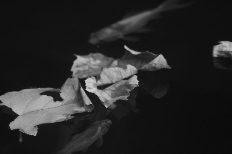 Beauty In Nature Black Background Blackandwhite Fish Leaf Nature No People Outdoors