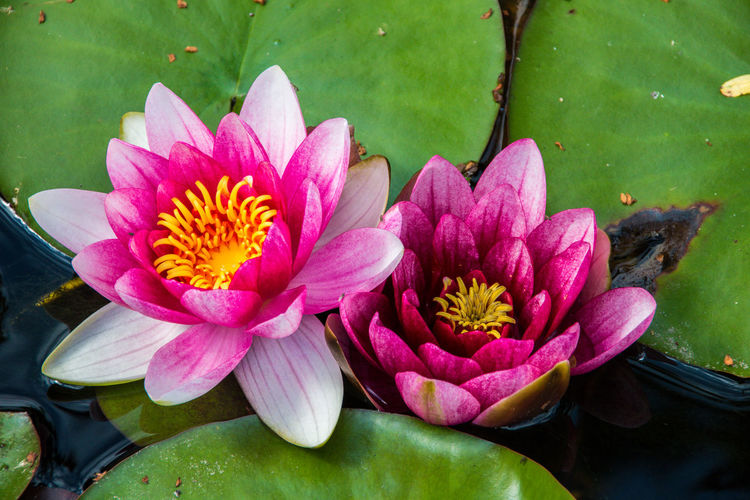 Beauty In Nature Blooming Close-up Day Floating On Water Flower Flower Head Fragility Freshness Growth Leaf Lotus Lotus Water Lily Nature No People Outdoors Petal Pink Color Plant Pollen Rhododendron Water Water Lily Art Is Everywhere
