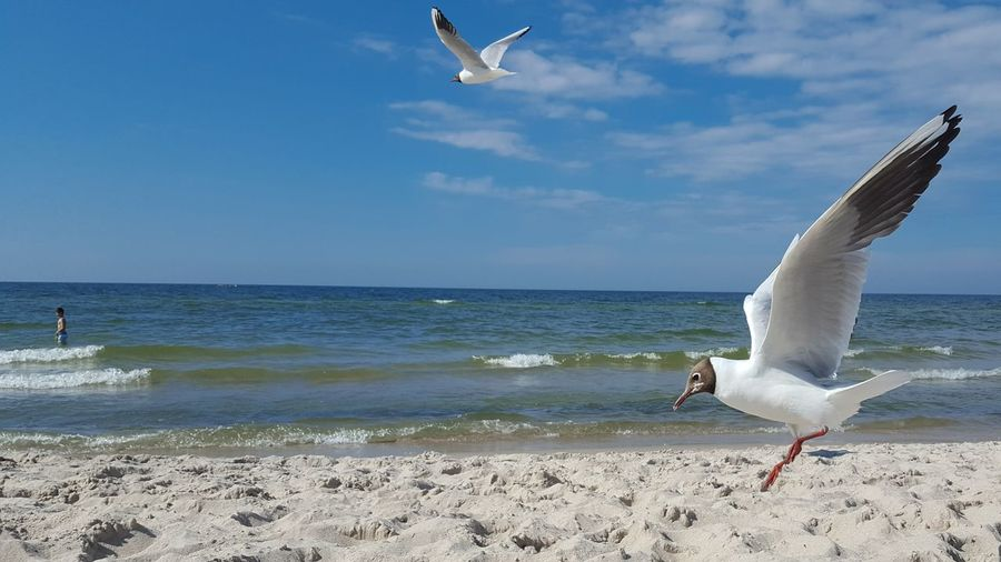 seagulls Baltic
