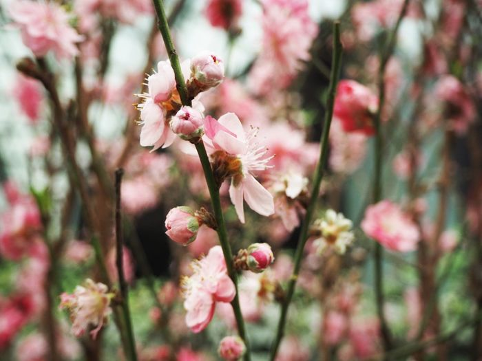 Flower Flower Flowers Sakura Blossom Cherry Blossom Pink Singapore Flower Dome Nature Plant ASIA