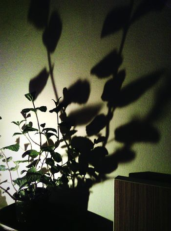 Shadow Menthe Plant Ombre