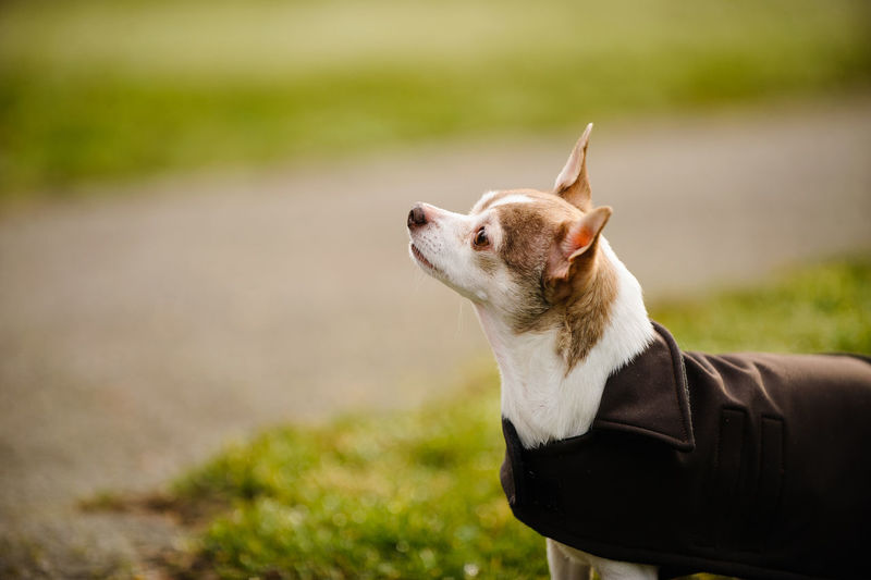 Close-Up Of Dog With Pet Clothing On Grassy Field