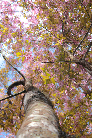 Autumn Beauty In Nature Branch Change Chiang Mai Chiang Mai | Thailand Close-up Day Freshness Growth Leaf Low Angle View Nature No People Outdoors Scenics Tranquility Tree Tree Trunk ขุนช้างเคื่อน เชียงใหม่ ดอกพญาเสือโคร่ง