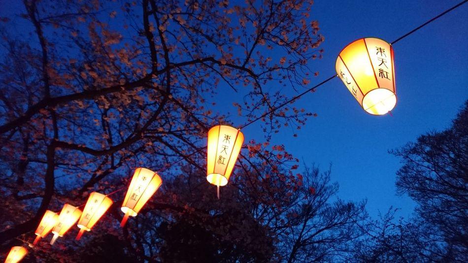 Cherry Tree Lantern Japan The EyeEm Facebook Cover Challenge 夜桜 ちょうちん サクラ ヒラヒラ 宵闇