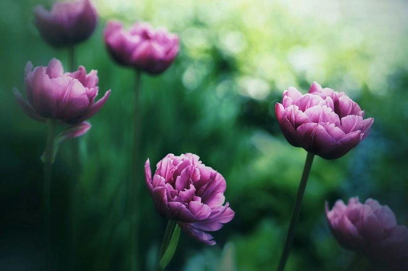 Close-up of tulips on plant