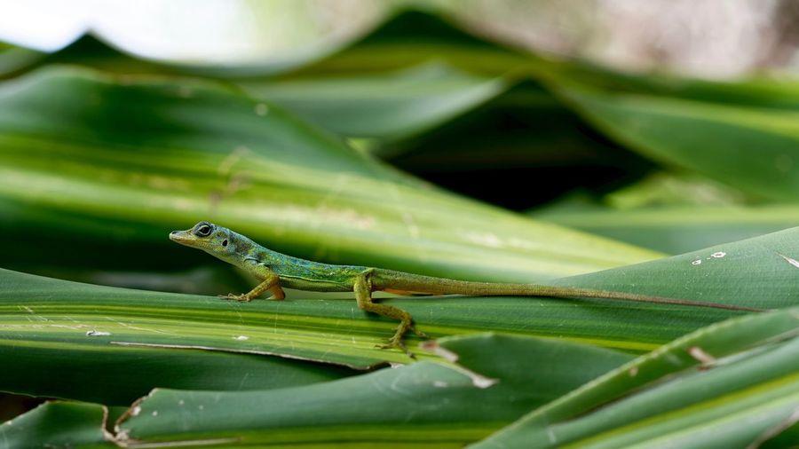 Zandoli Colors Lizard Wildlife & Nature Reptile Martinique Green Color Tropical Animals