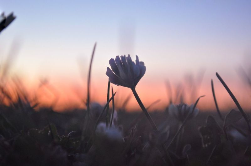 Close-up of crocus on field against sky during sunset