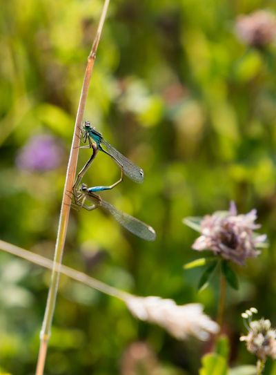 Mating Pair Of Insects Libelle, Libelle Kleine Blauwe Libelle Rotterdam Natuur Netherlands Nature Melkschuur Natuurmonumenten Netherlands Rotterdam Insect Invertebrate Animal Wildlife Animals In The Wild Animal Themes One Animal Animal Close-up Dragonfly Beauty In Nature Outdoors