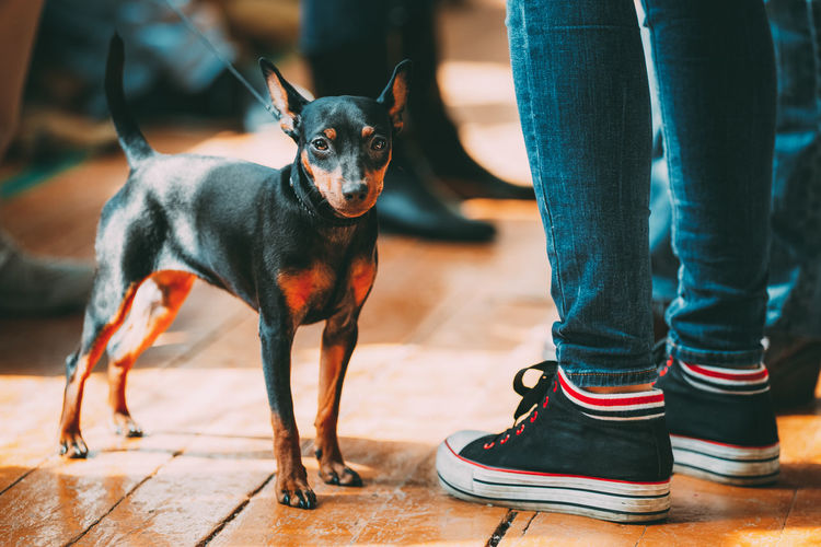 Small Young Black Miniature Pinscher Pincher dog staying on old wooden floor indoor. Small breed of domestic dog. Pets Dog Canine Animal Small Black Miniature Pincher Pincher Pinsher Pinscher Jeans Breed Pedigree Purebred Puppy Face Feet Young